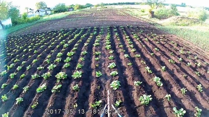 Прополка и окучивание картофеля ручным культиватором.