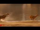 Нильский крокодил отнимает антилопу у львицы