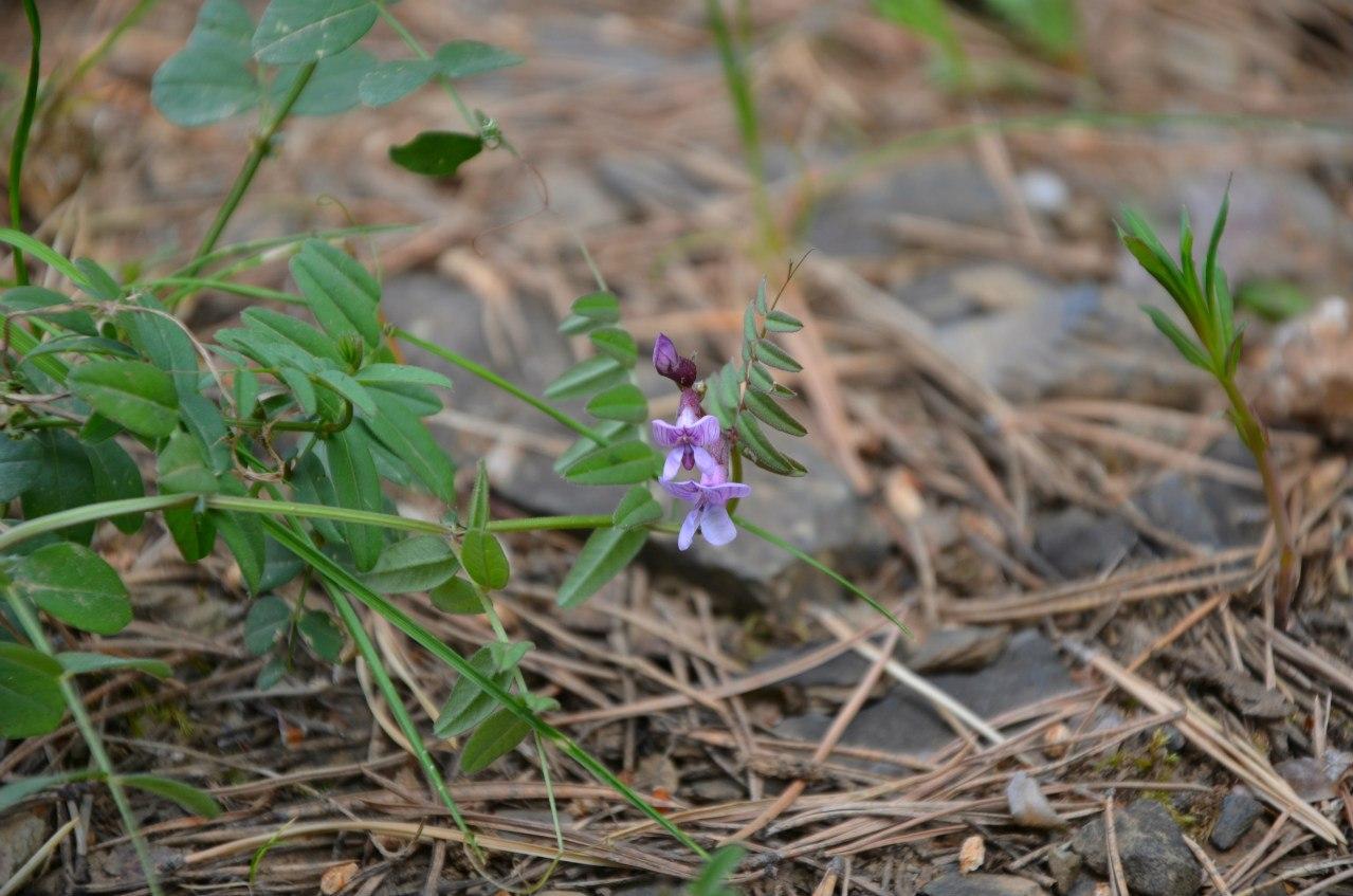 Орхидея Ятрышник КК (23.06.2014)