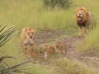 Папа-лев