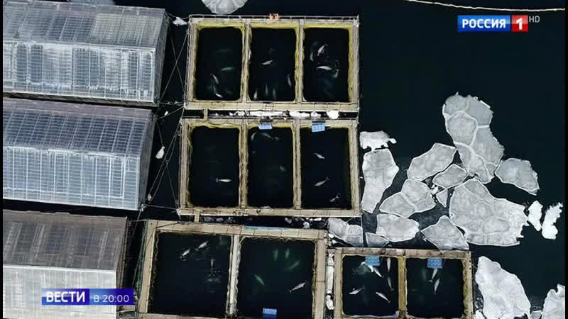 Китовая тюрьма судьба 100 белух и косаток остается под вопросом