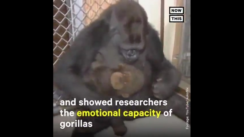 RIP Koko , famous for learning American Sign Language, passed away at 46