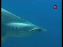 Сериал Мир природы 10 серия - Акула-молот