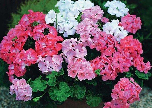 Чтобы герань всегда радовала цветением нужна 1 капля йода