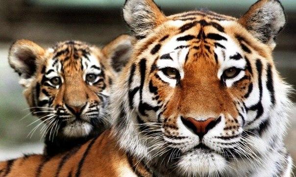 Картинки по запросу Национальный парк «Зов Тигра»