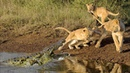Lion vs Crocodile Lion Mom Protects Cubs from Male Crocodile Amazing Footage