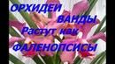 Орхидеи Ванды растут как фаленопсисы в коре