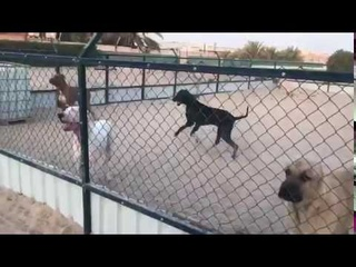 Bully kutta and kangal in Corea
