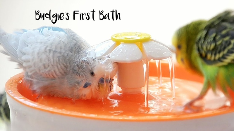 How to give Budgie's First Bath   Budgie Water Training