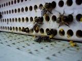 пчелы собирают пыльцу.AVI