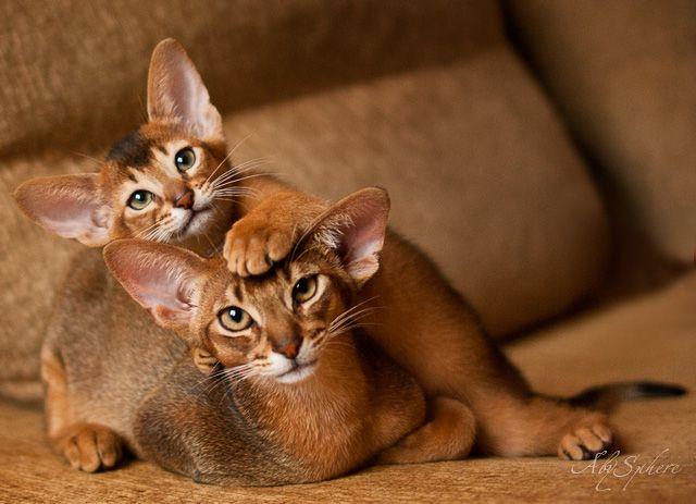 Характер, уход и питание абиссинской кошки