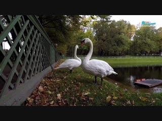 Обитатели Летнего сада – лебеди Руслан и Людмила