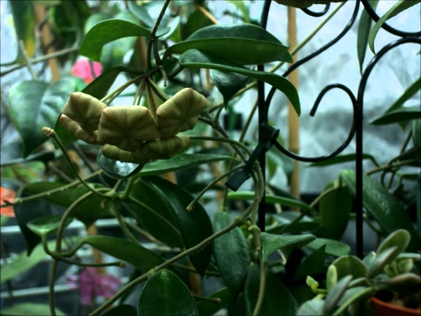 Just the Flowers Maam! Hoya megalantha