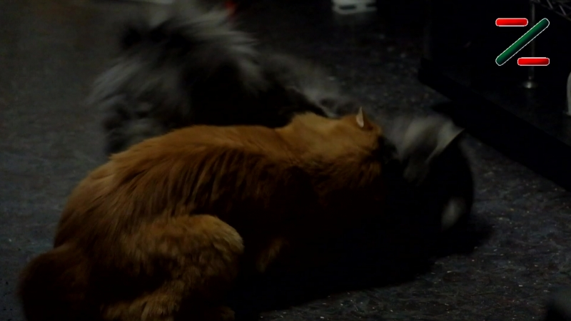 Десять секунд из жизни котиков Гнусмаса и Бормана. Вот так и живём...