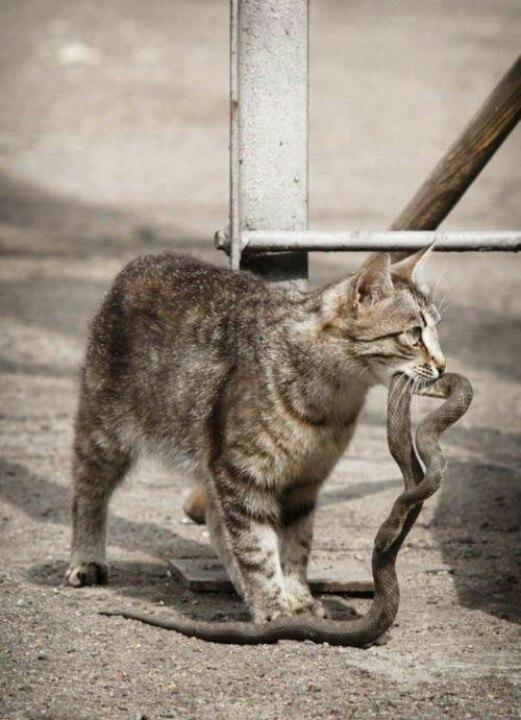 боятся ли кошки змей