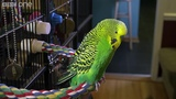 Meet Disco the incredible talking budgie - Pets - Wild at Heart Episode 1 Preview - BBC One