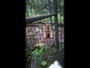 Амурский тигр по имени Амур