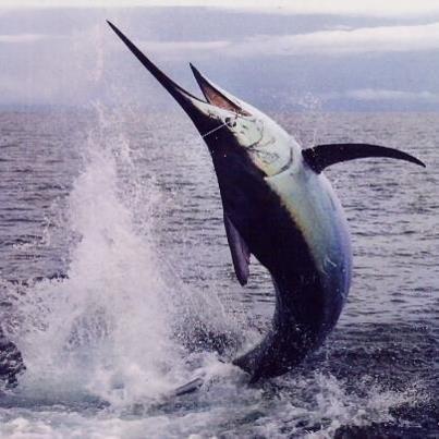амая быстрая рыба в мире — Рыба-Меч, развивает скорость до 130 км/ч.