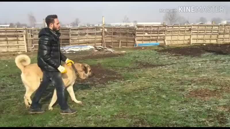 Şampiyon Reşo İstanbullu Baron
