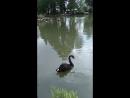 Чёрные лебеди на озере в Сочинском Дендрарии