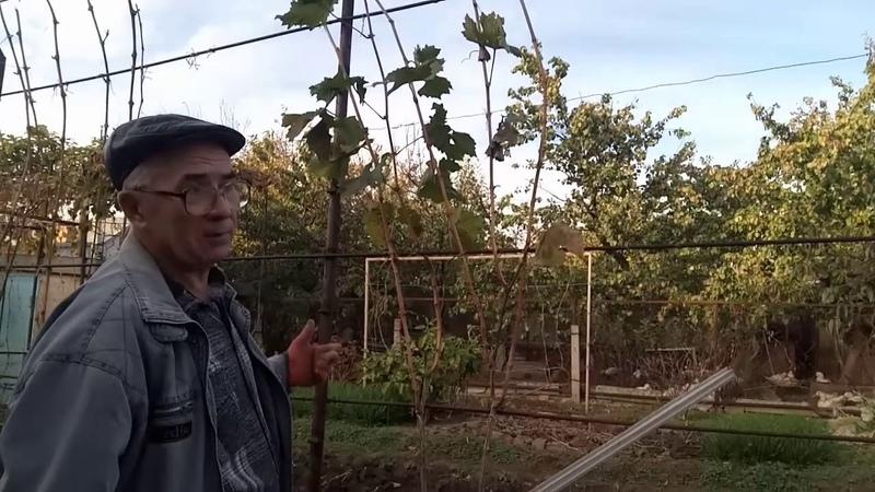 Выращивание и обрезка лоз для удлинения многолетних веток - плеч и рукавов - на кустах винограда.