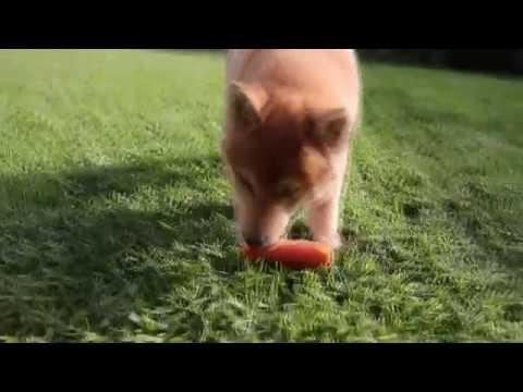 Cute Shiba Eats Carrot