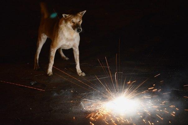 Истерическое поведение собак (синдром новогодней петарды). VMd63ysmDsM
