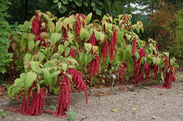 АМАРАНТ. ЯЗЫК ЦВЕТОВ Амарант (лат. Amaránthus) очень красивое растение с ярко-красными, пурпурными или золотистыми цветами, собранными в густые колосовидно-метельчатые соцветия. Амарант -
