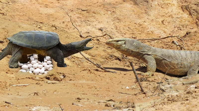 Monitor Lizard Stalks Turtle Nest - Monitor Lizard Vs Turtle - Monitor Lizard Eat Turtle Eggs