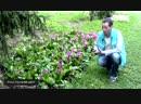 Бергения или Бадан _Школа цветоводства и садоводства