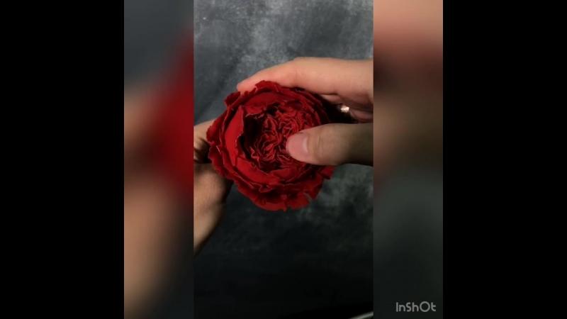 Бобовая роза Остина
