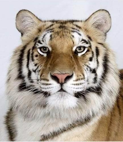 Тигры с разным окрасом шерсти. Красавцы!