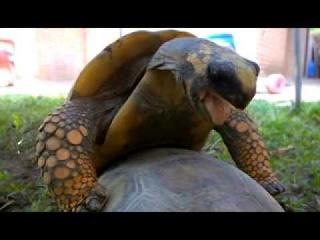 Порно с черепахой
