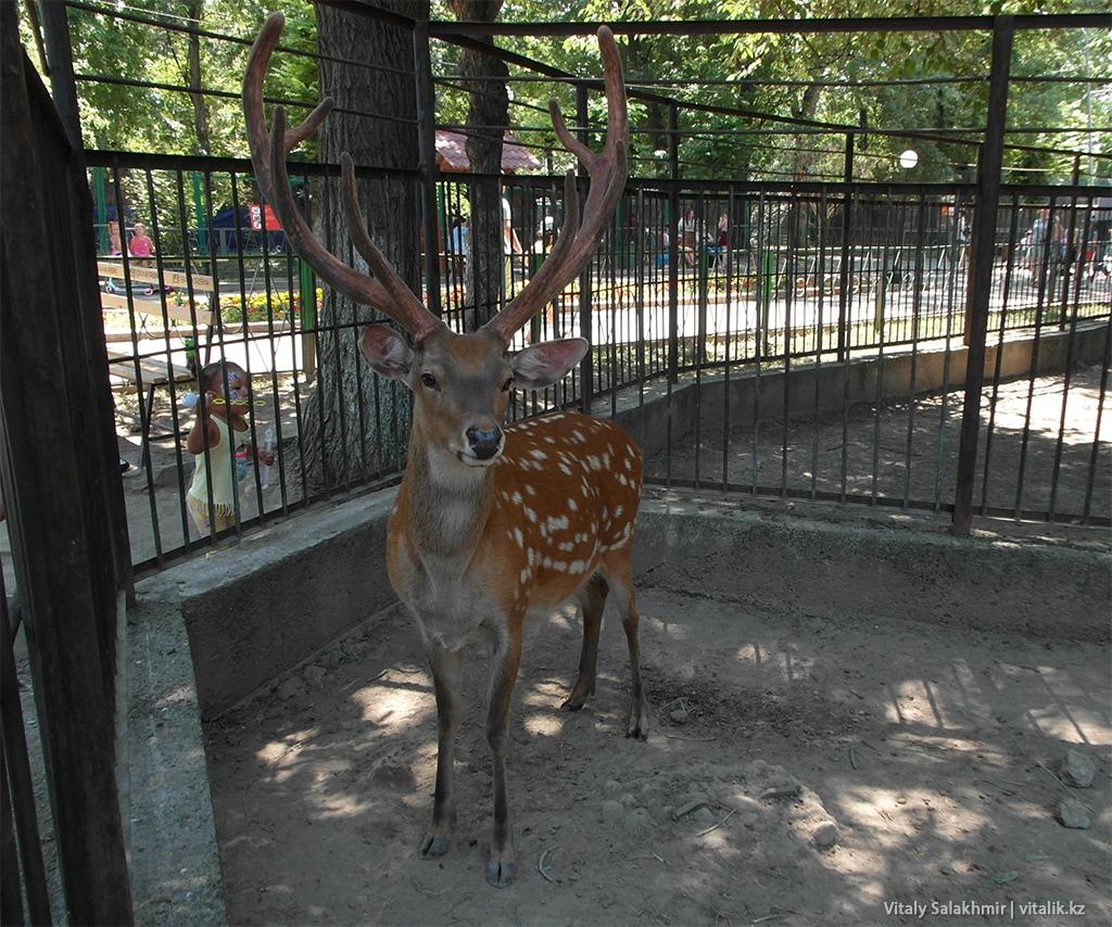 Пятнистый олень, зоопарк Алматы 2018