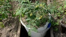 Томат от семени до плода часть 9 пасынкование обрезка