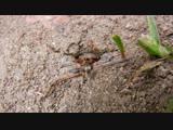 Formica rufibarbis_краснощекий муравей
