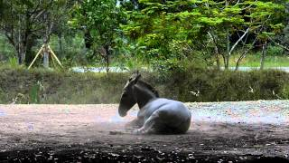 Lumix dmc-fz200 high speed (slow motion) 120fps, Somali Wild Ass rolling on dirt