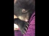 Медвежонок мило урчит