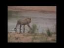 Нильский крокодил атакует льва