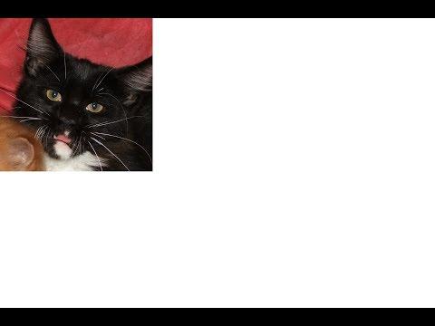 Мистика. Кошечка Мейн кун с человеческими глазами. Mysticism. The Maine Coon cat with human eyes
