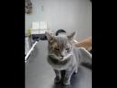 Кошка Люся в клинике Ветас Иваново