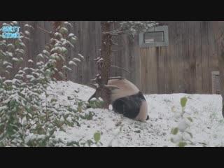Снег и панда