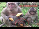 Spoiled baby monkey Sweatpea was hit by mother when he tried to steal his mum's foods