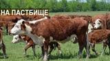 Герефорды. Содержание мясного КРС на пастбище. КФХ Колесниковых.