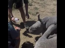 Protective Baby Rhino Guards Mother During Toe Treatment - 986059