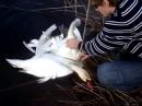 Вот и такое бывает в природе. Два белых лебедя запутались в крыльях друг у друга.