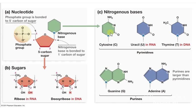 Биология в картинках_ Строение нуклеотидов ДНК и РНК (Вып. 54)