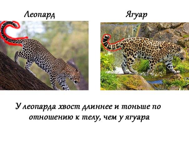 a comparison of the jaguar and leopard