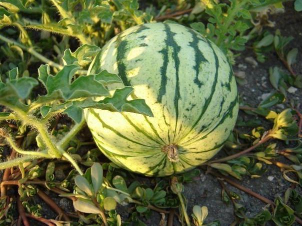 Спрашиваете как вырастить сладкий спелый крупный арбуз в наших условиях Нет ничего проще!