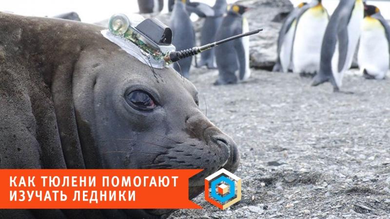 Как тюлени помогают изучать ледники
